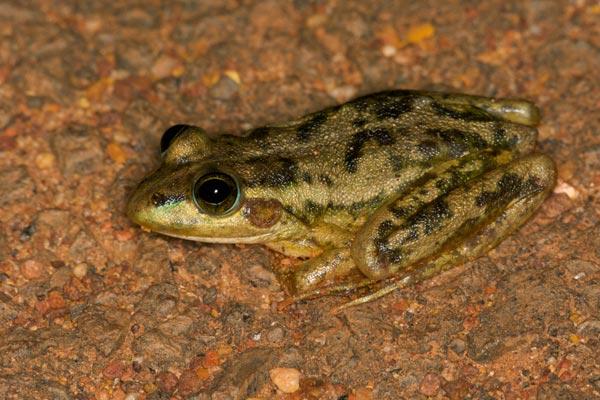 Aquatic frog - photo#12