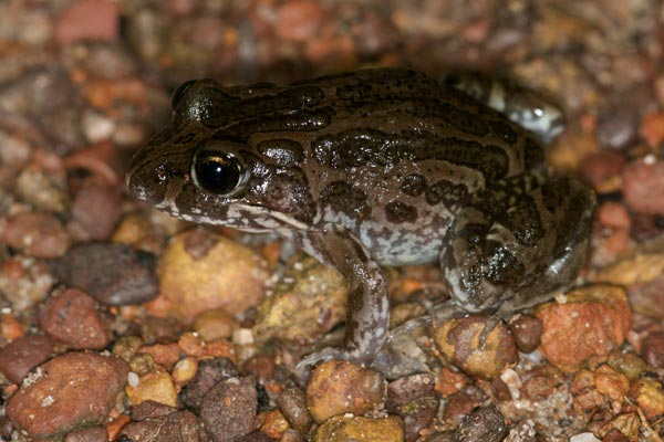 Marbled Frog (Limnodynastes convexiusculus)