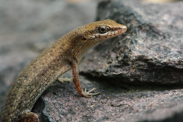 Two-spined Rainbow Skink (Carlia amax)