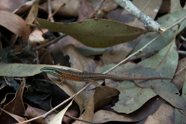 Red-sided Rainbow Skink (Carlia rufilatus)