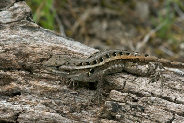 Rose-bellied Lizard (Sceloporus variabilis)