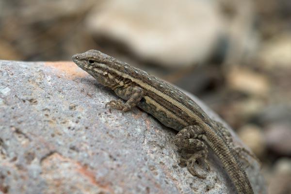 U S Lizard Eastern Side-blotched Lizard