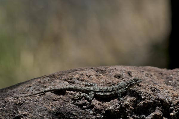 Big Bend Tree Lizard (Urosaurus ornatus schmidti)