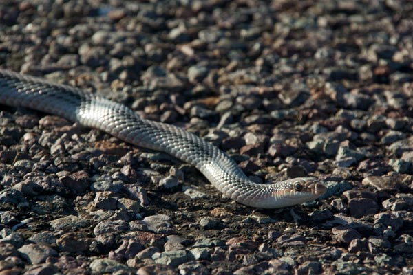 Big Bend Patch-nosed Snake (Salvadora hexalepis deserticola)