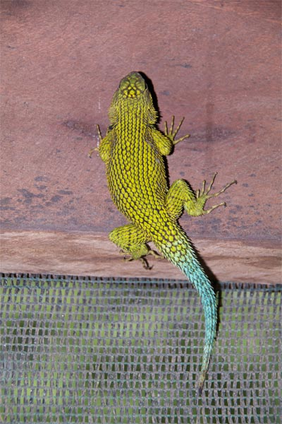 Green Spiny Lizard (Sceloporus malachiticus)