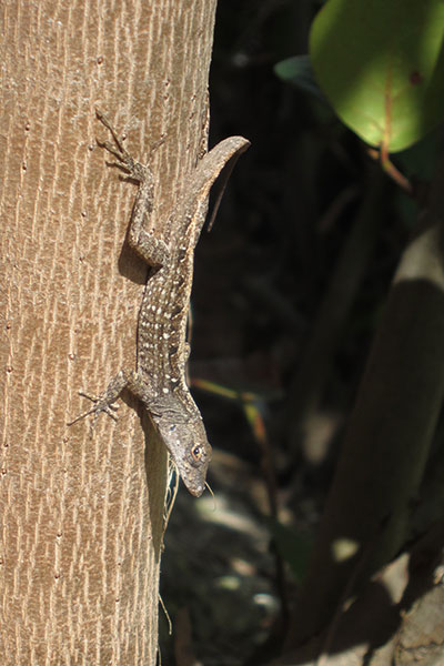 Bahaman Brown Anole (Anolis sagrei ordinatus)