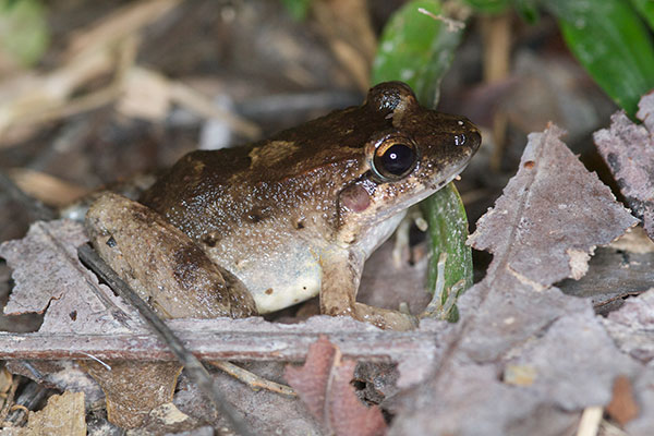 Smooth Jungle Frog (Leptodactylus diedrus)