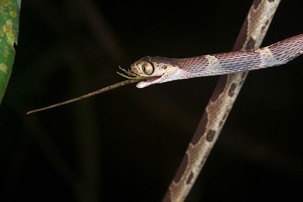 Wild Herps Common Blunt Headed Tree Snake Imantodes
