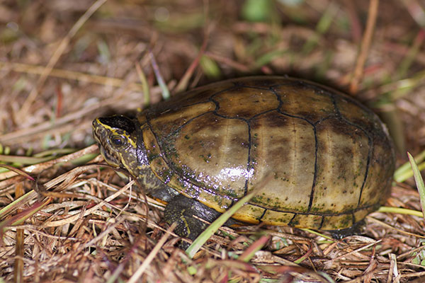 Striped Mud Turtle (Kinosternon baurii)