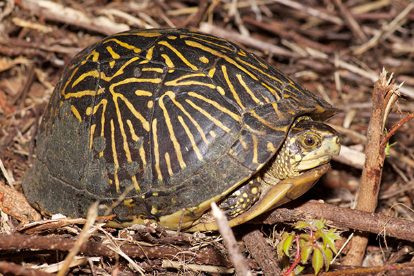 Florida Box Turtle (Terrapene baurii)