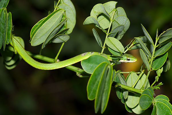 Florida Rough Greensnake (Opheodrys aestivus carinatus)