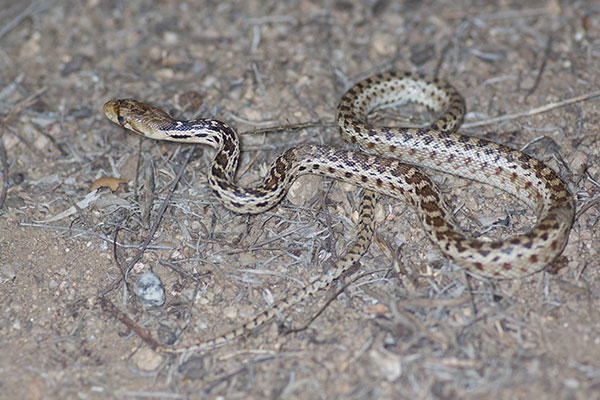 San Diego Gopher Snake (Pituophis catenifer annectens)