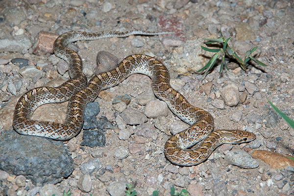 Painted Desert Glossy Snake (Arizona elegans philipi)
