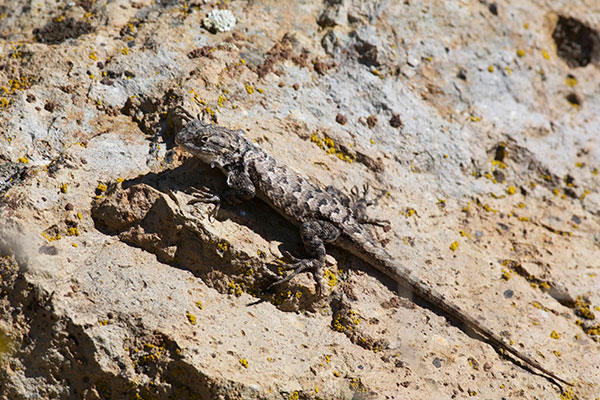 Northwestern Fence Lizard (Sceloporus occidentalis occidentalis)