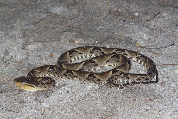 Central American Fer-de-Lance (Bothrops asper)