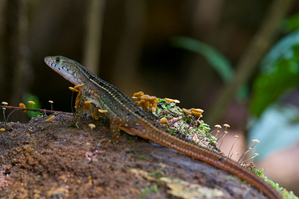 Black-striped Forest Lizard (Cercosaura ocellata bassleri)