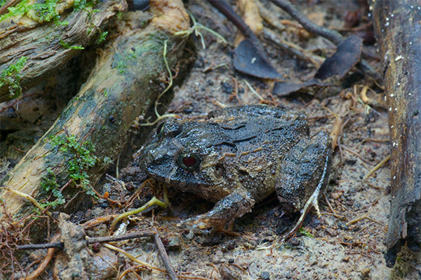 Broad-headed Rain Frog (Strabomantis sulcatus)