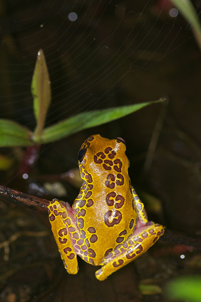 Variable Clown Treefrog (Dendropsophus triangulum)