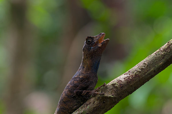 Blue-lipped Forest Anole (Anolis bombiceps)