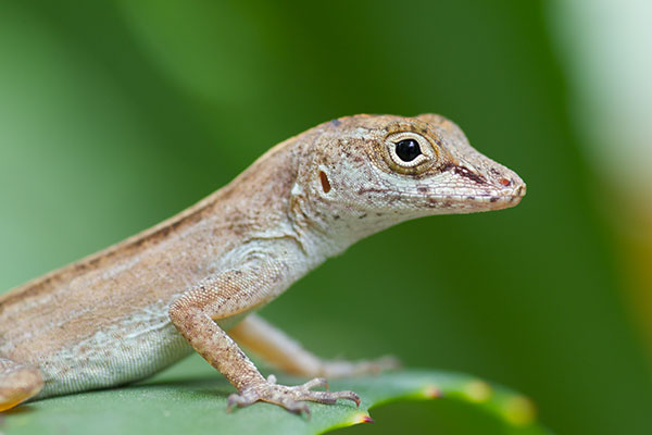Eastern Crested Anole (Anolis cristatellus wileyae)