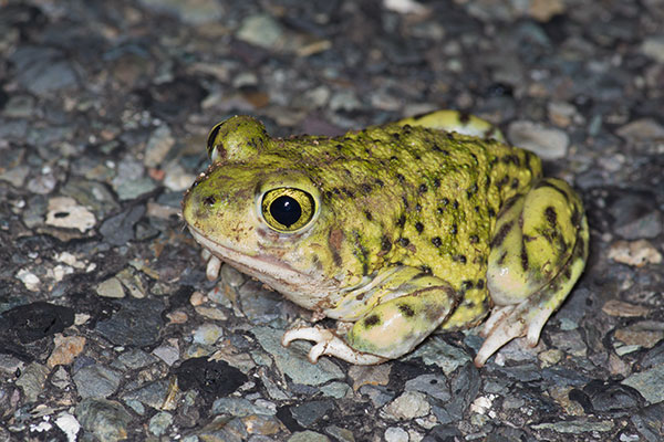Couch's Spadefoot (Scaphiopus couchii)