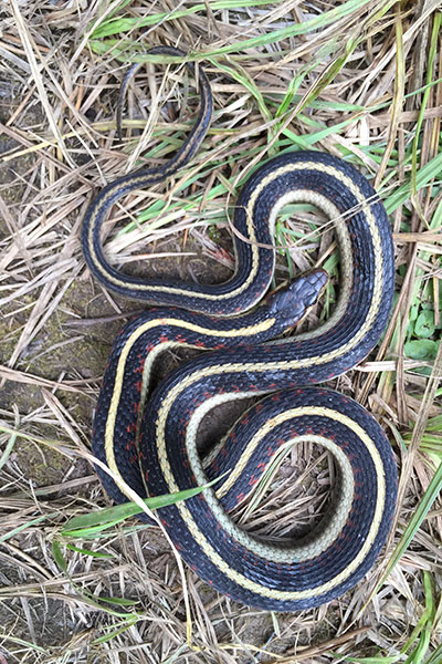 Valley Gartersnake (Thamnophis sirtalis fitchi)