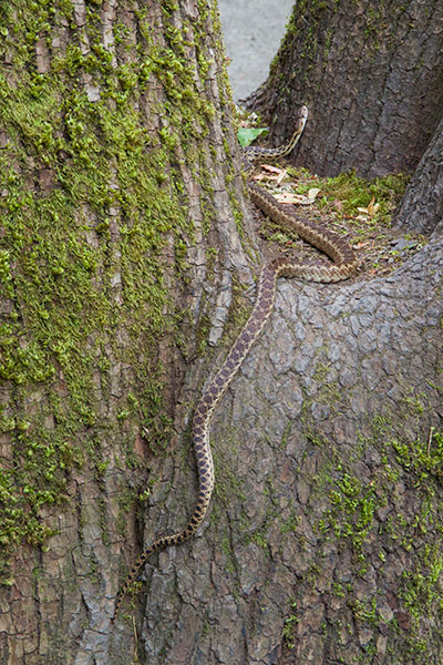 Pacific Gopher Snake (Pituophis catenifer catenifer)