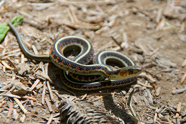Red-spotted Gartersnake (Thamnophis sirtalis concinnus)