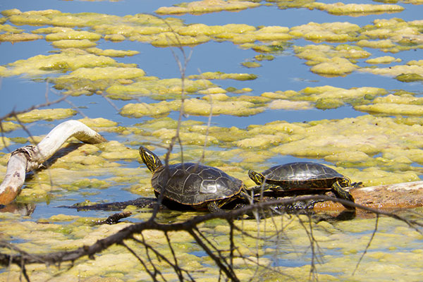 Western Painted Turtle (Chrysemys picta belli)