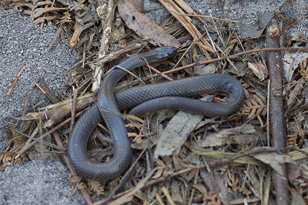 Eastern Small-eyed Snake (Cryptophis nigrescens)