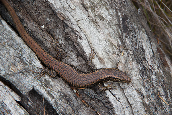 Yellow-bellied Water Skink (Eulamprus heatwolei)