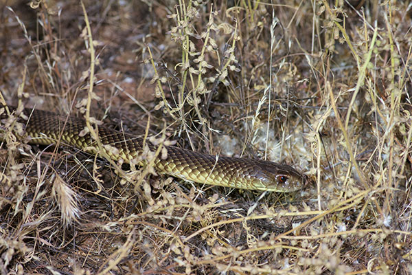 King Brown Snake (Pseudechis australis)