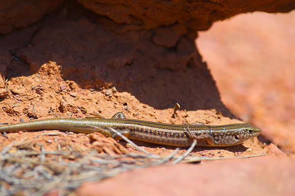 Eastern Striped Skink (Ctenotus robustus)