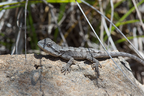 Wild Herps Mallee Tree Dragon Amphibolurus Norrisi
