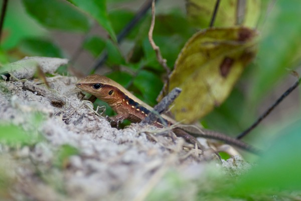 Delicate Ameiva (Holcosus leptophrys)