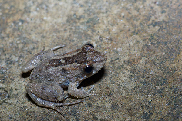 Peter's Jungle Frog (Leptodactylus petersii)