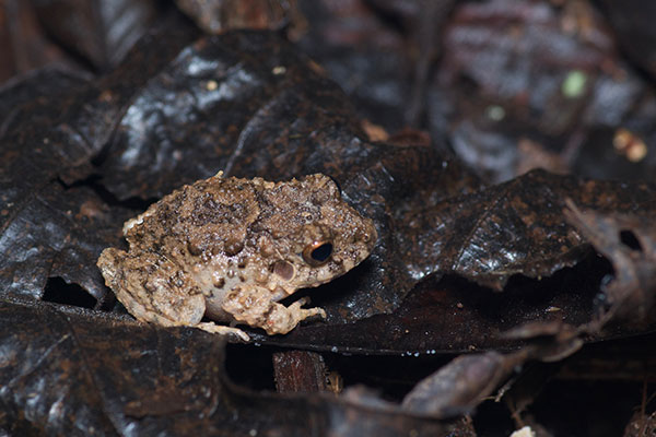Common Big-headed Rain Frog (Oreobates quixensis)