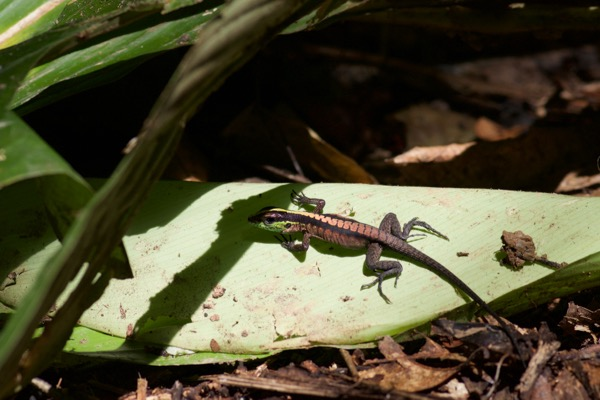 Forest Whiptail (Kentropyx pelviceps)
