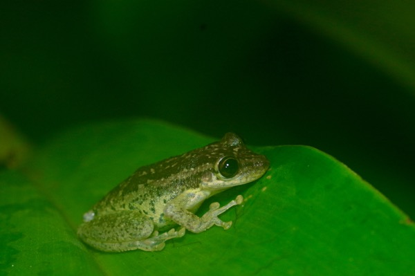 Two-striped Treefrog (Scinax ruber)