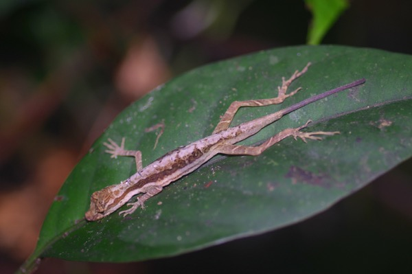 Common Forest Anole (Anolis trachyderma)