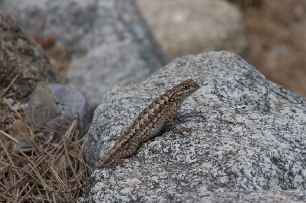 Coast Range Fence Lizard (Sceloporus occidentalis bocourtii)