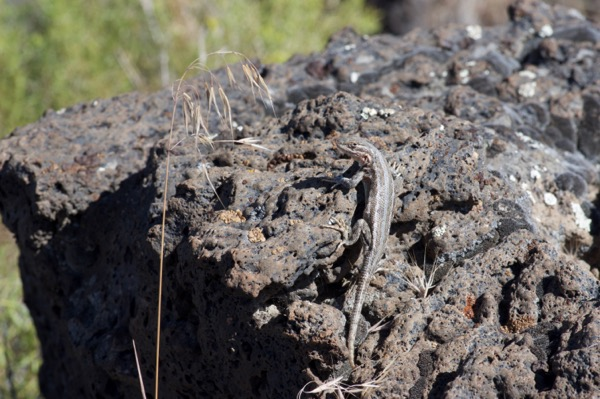 Northern Sagebrush Lizard (Sceloporus graciosus graciosus)
