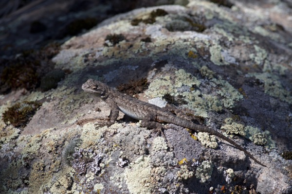 Great Basin Fence Lizard (Sceloporus occidentalis longipes)