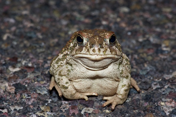 Great Plains Toad (Anaxyrus cognatus)