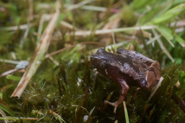 Larut Hills Rice Frog (Microhyla annectens)
