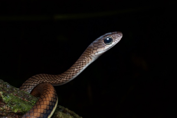 White-bellied Rat Snake (Ptyas fusca)