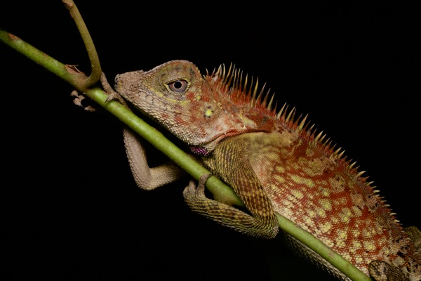 Bell's Angle-headed Lizard (Gonocephalus bellii)