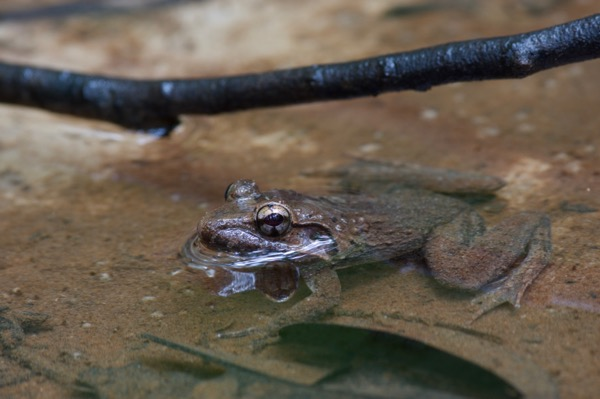 Rough-backed River Frog (Limnonectes ibanorum)