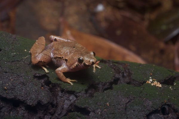 Bornean Narrow-mouthed Frog (Microhyla malang)