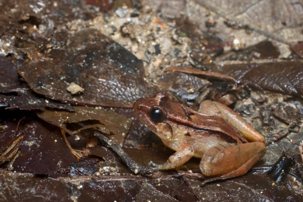 Smooth Guardian Frog (Limnonectes palavanensis)